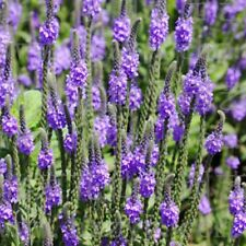 The beauty of spring 30 Verbena Hastata Blue Vervain Perennial Flower Seeds A224