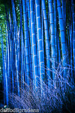 40 Seeds Rare Blue Bamboo Imported New Arrival Seeds