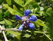 Lignum Vitae   Tree of Life   Guaiacum sanctum  10 Fresh Seeds   (Free Shipping)