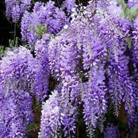 30/50/100 Seeds Purple Wisteria Flower Seeds Perennial Garden Plants I3B4