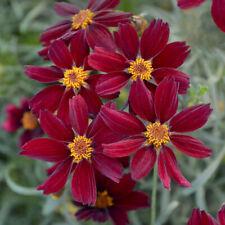 2 Coreopsis 'Red Satin Flowering Perennial. Stunning Plant