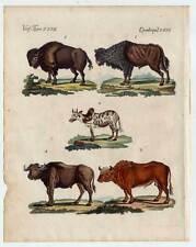 Búfalo-Bison-buey-zebu - uros-animales-grabado de Bertuch 1800