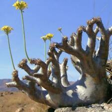PACHYPODIUM densiflorum var. densiflorum Succulent Caudex - 5 Seeds