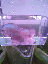 Blue Neon Discus-Live Tropical Fish