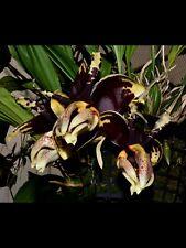 Orchid Species Stanhopea ( tigrina 'Rogue Giant' x tigrina 'Rogue Semi-Alba' )