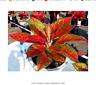 50 seeds Aglaonema 'Pink Dud', beautiful Mosaic plants perennial evergreen