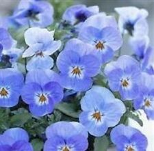 Viola-Floral Potencia Lila Rosa Blanca Centro - 10 Semillas