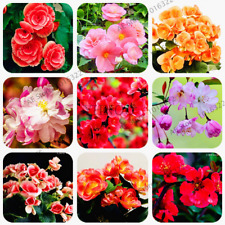100 PCS Seeds Begonia Flowers Plants Begonia Malus Chinese Decorative Bonsai New