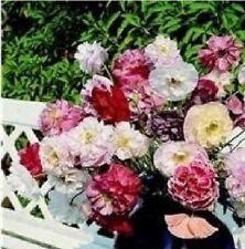 fioriture pesante La DATURA ANGEL/'S Tromba 5 semi-dolce profumo