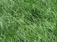 "Kentucky 31 Tall Fescue Grass Seed ""Raw"" 20 Lbs"