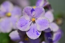 "African Violet Chimera 'Aeka Sport"" - Plant in Bloom!"