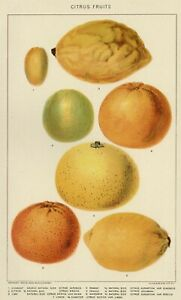 CITRUS FRUITS: 1902 Authentic (Dated) True Stone Chromolithograph Botanical