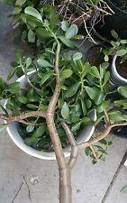"2 x 9"" Green Red Tips Lucky Money Jade Succulent Crassula Ovata Plants Cuttings"