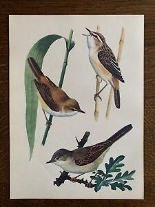 ORIGINAL 1947  Vintage TUNNICLIFFE  Bird Print SEDGE REED WARBLER WHITETHROAT