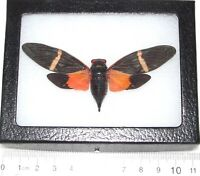 Tosena Paviei Taxidermy Entomology  Zoology  Dried Insect  Curiosities Real Mounted Orange Cicada FREE SHIPPING