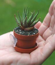 Micro Gardens Suction Cup mini Succulent Plants  Cacti Cactus REAL LIVE PLANT