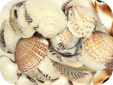 Cockle Small Shells (Approx 25-30 Craft Shells) 100g Seashells, Sea Shells Shell