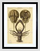 SCIENTIFIC ILLUSTRATION CRUSTACEANS HORSEHOE CRAB FRAMED ART PRINT B12X10129