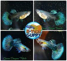 1 TRIO - Live Aquarium Guppy Fish High Quality - Green Dragon - USA SELLER