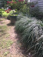 Liriope Ornamental Grasses For Sale Ebay