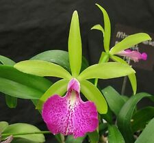 Cattleya Brassavola Orchid ~ Blc. Mem Vida Lee 'Limelight'