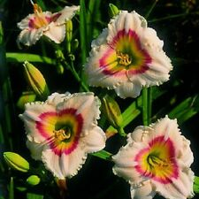 Siloam Ethel Smith Hardy Daylily Visit My Store Combined Shipping