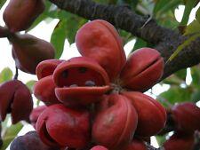 25 Sterculia foetida Seeds, Java Olive, Peon, Poon Tree, Wild Indian Almond,