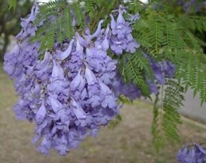 2 X Blue flowering Jacaranda Mimosifolia - Live plant 4-6 inches tall