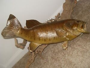 "BEAUTIFUL MOUNTED 18"" SMALL MOUTH BASS DRIFTWOOD MOUNT REAL FISH 1 OF A KIND"