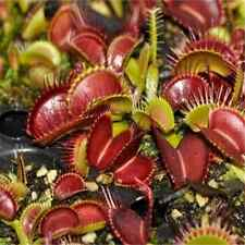 Wholesale Venus Fly Trap Carnivorous Plant 40pcs Seeds with Care Instructions