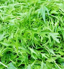 Herb Rocket Wild - 24000 seeds