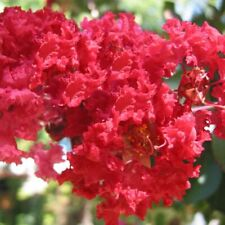 Lagerstroemia indica 'Dynamite' - Lilas des Indes double rouge cerise