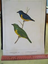 Vintage Print,SOUTH AMERICAN TANAGER,Plate20,U.S.Astrological Expedition,Chromo