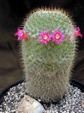 Rare Mammillaria Columbiana exotic cacti pincushion cactus seed 20 Seeds