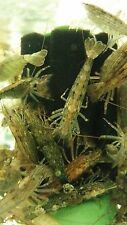 Shrimp - Bamboo ( X Large size) x 5 - Aquatic Aquarium Fish Shrimp Tank (TO057)