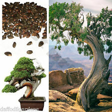 Beautiful Chinese Juniper Bonsai Tree Seeds (Juniperus chinensis) 20 Seeds