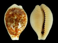 Cypraea dayritiana dani - Shells from all over the World NEW!!!