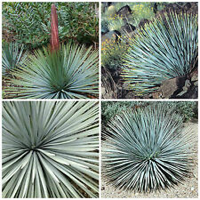 50 semi di Yucca whipplei=Hesperoyucca whipplei ,piante succulente,seeds