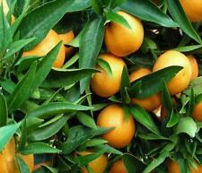 Huile Essentielle MANDARINE 10ml pure naturelle