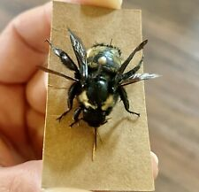 Insect Collection Bumble bee