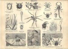 Stampa antica INSETTI ARACNIDI RAGNI Insecta Spiders 1890 Old antique print