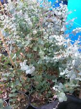 EUCALYPTUS GUNNII Tree Shrub Silver Leaves Potted Dry Tolerant 30in Multistemmed