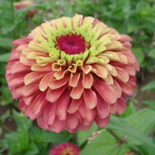 Zinnia - Queen Red Lime - 15 Seeds
