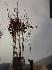 Geschlitztblättrige Rotbuche 30-40cm Fagus sylvatica