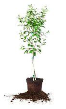 Anna Apple Tree, Live Plant, Size: 3-4 ft.