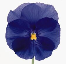 0.2g (approx. 200) true blue large pansy seeds VIOLA X WITTROCKIANA sky blue Big
