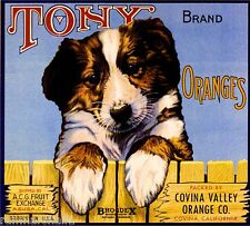 Covina Tony Collie Shepherd Dog Puppy Orange Citrus Fruit Crate Label Art Print