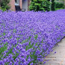 More details for lavandula hidcote | english lavender potted plant | evergreen shrub (1 plant)