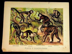 Antique 1880 Henry J Johnson Monkey Spider Baboon Plate II Quadrumana Art Print
