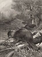 Beaver Pack Building Dam, Beautiful Large 1880s Antique Print & Article